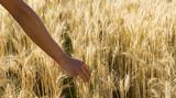hand grasps an ear of corn poster