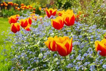 Tulpe und Vergissmeinicht  - tulip and forget-me-not 02