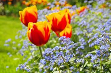 Tulpe und Vergissmeinicht  - tulip and forget-me-not 08