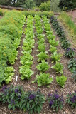 Three Rows of Lettuce with Flower Companion Planting. poster