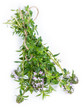Winter Savory (isolated on white)