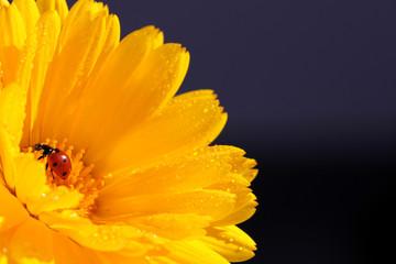Margarita amarilla con mariquita roja
