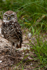 Burroowing Owl Near Nest