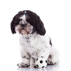 shih tzu on a white background