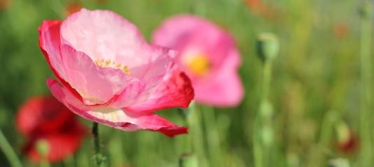 Coquelicots roses