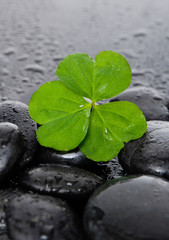 Shamrock leaf and black stones on wet background