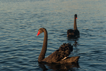 pair of black swans on lake