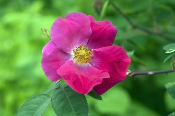 Essigrose; Rosa, gallica; Apothekerrose;