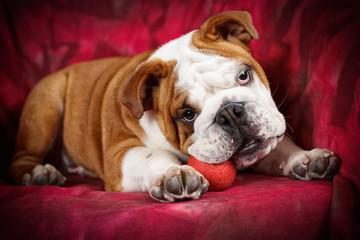 Cucciolo di razza Bulldog inglese gioca con pallina rossa