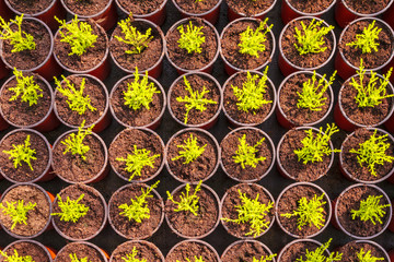 Young conifer sprouts in pots
