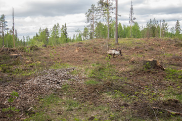 Reindeer staying in a deforestation area