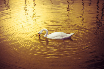 White Swan in golden background