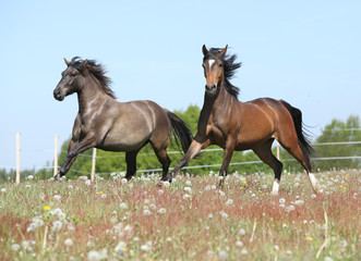 Two amazing horses running on spring pasturage