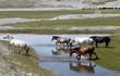 Obrazy na płótnie, fototapety, zdjęcia, fotoobrazy drukowane : Mongolian wild horses