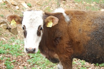 Motley cow