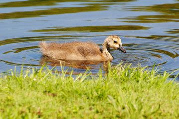 Canadian Gosling Swimming Close to Land