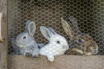 Kaninchen Mutter mit Jungen im Stall