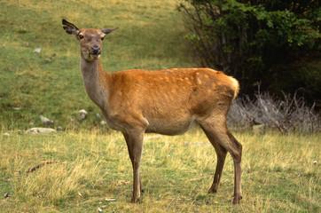 cervo femmina cervus elapus parco nazionale tosco emiliano