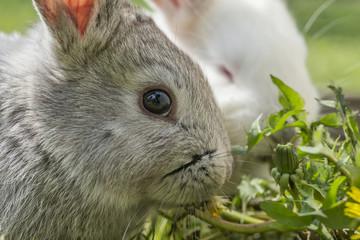 Kaninchen beim Fressen