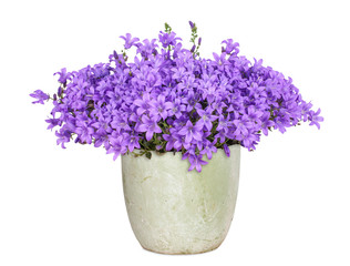 Campanula, isoliert