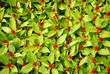 Background of Green Leaves and Red Flowers