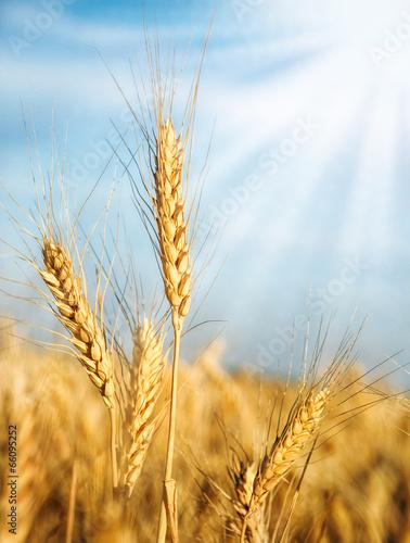 Wheat ears and sunbeams