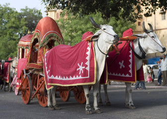 Bullock cart , festival , Jaipur, Rajasthan , India
