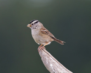 White-crowned Sparrow with insect