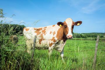 Hübsche Kuh auf der Weide