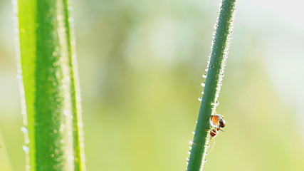 Ant with drops of water on grass