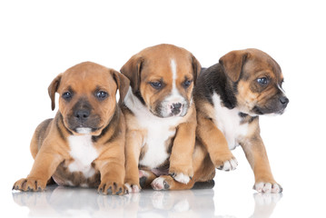 three adorable staffordshire bull terrier puppies