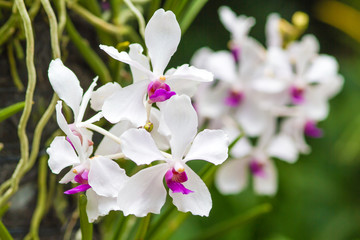 White Phalaenopsis on Green Background