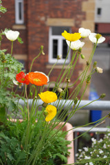 Balcony poppies