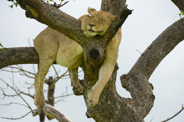 schlafender Löwe im Baum