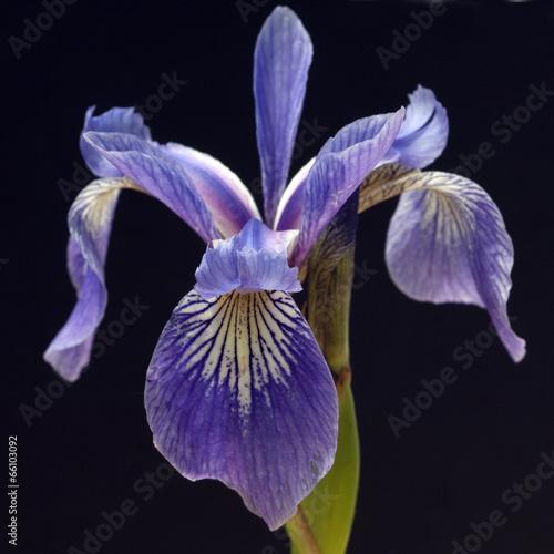 Poster Iris Sumpfiris, Iris, versicolor, Blaue Sumpf-Schwertlilie,