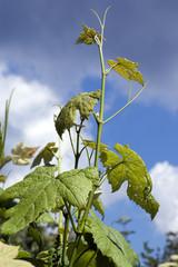 Weinblatt; Weisser Wein;