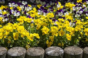 primrose flower bed