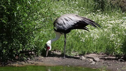 A Wattled Crane (Bugeranus Carunculatus) feeding on a river bank