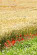 Wheat field with poppy