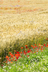 Wheat field with poppy