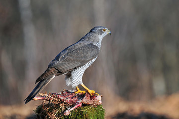 Goshawk with carrion