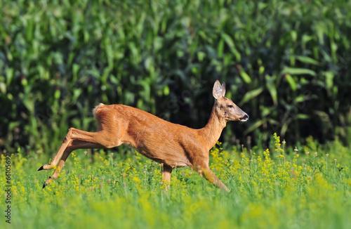 Staande foto Ree Roe deer running