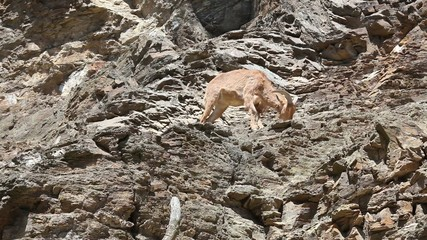 Lonely Barbary Sheep (Ammotragus lervia) on a steep rock