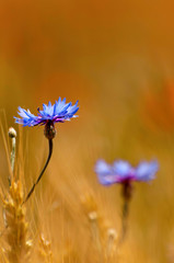 Blue cornflower in wheat field