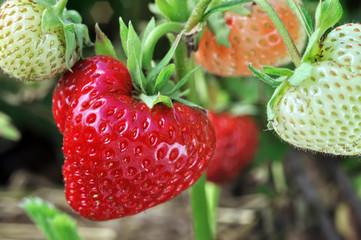 close-up of ripening strawberry