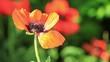 mohnblume blüte mit biene