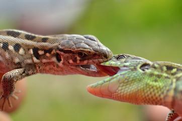 Lizard 7