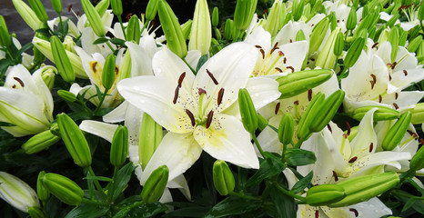 White Lily Bloom