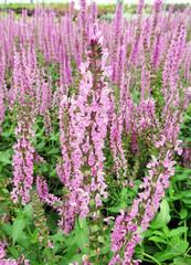 Pink Salvia Plant
