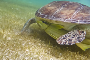 green turtle in the deep blu sea